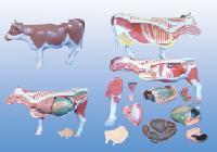 Mô Hình Giải Phẫu Hệ Thống Cơ Thể  Bò